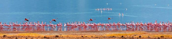 Flamingi na Bogoria jeziorze Zdjęcie Royalty Free
