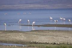 Flamingi na Jeziornym Abbe Zdjęcie Stock