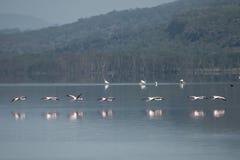 Flamingi na jeziorze Zdjęcie Stock