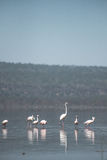 Flamingi na jeziorze Obrazy Stock