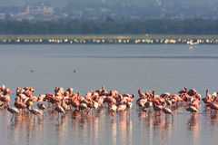 Flamingi od Nakuru jeziora Kenja Zdjęcia Stock