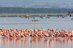 Flamingi od Nakuru Kenja Obraz Stock