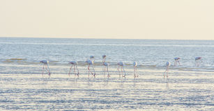 Flamingi przy plażą Zdjęcia Stock