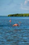 Flamingi przy Rio Lagartos biosfery rezerwą, Jukatan, Meksyk Zdjęcie Royalty Free