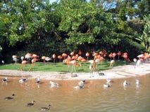 Flamingi przy stawem Zdjęcie Royalty Free