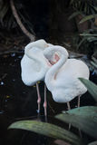 Flamingi ptasi Fotografia Royalty Free