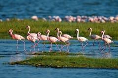 flamingi różowią spacer wodę Obraz Stock