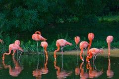 Flamingi różowią zoo ptasiego flaminga plenerowego Fotografia Stock