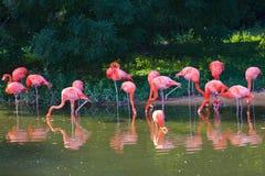 Flamingi różowią zoo ptasiego flaminga plenerowego Zdjęcia Stock