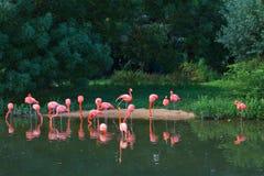 Flamingi różowią zoo ptasiego flaminga plenerowego Obrazy Royalty Free