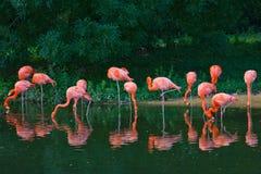 Flamingi różowią zoo ptasiego flaminga plenerowego Zdjęcie Royalty Free