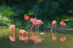Flamingi różowią zoo ptasiego flaminga plenerowego Fotografia Royalty Free