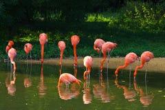 Flamingi różowią zoo ptasiego flaminga plenerowego Zdjęcie Stock