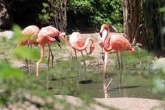 Flamingi Uchwyta dzień Zdjęcia Stock