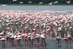 Flamingi w Afryka Obrazy Royalty Free