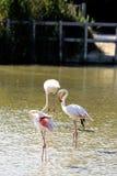 Flamingi w Camargue Zdjęcie Royalty Free