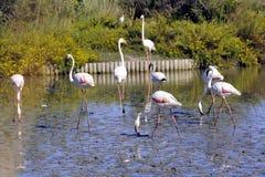Flamingi w Camargue Obrazy Stock