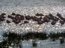 Flamingi w Jeziornym Elmentaita Obraz Stock