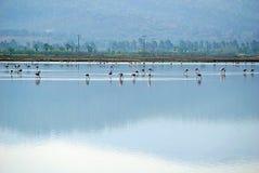 Flamingi w Jeziornym Tuzla Turcja zdjęcie royalty free