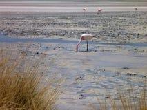 Flamingi w jeziorze przy bolivian altiplano Obraz Stock