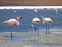 Flamingi w jeziorze przy bolivian altiplano Zdjęcia Stock