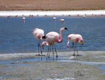 Flamingi w jeziorze przy bolivian altiplano Zdjęcie Stock