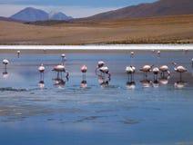 Flamingi w jeziorze przy bolivian altiplano Obrazy Royalty Free