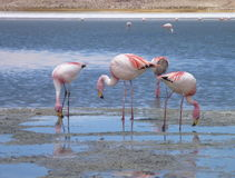 Flamingi w jeziorze przy bolivian altiplano Fotografia Stock