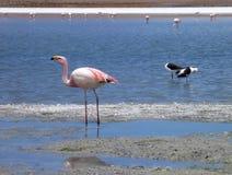 Flamingi w jeziorze przy bolivian altiplano Obrazy Stock