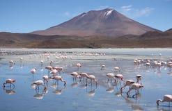 Flamingi w Laguna Hedionda, Boliwia, Atacama pustynia Fotografia Stock