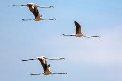 Flamingi w locie Zdjęcia Royalty Free