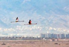 Flamingi w locie, fotografującym przy solankowymi nieckami, Eilat, Israe Zdjęcia Stock