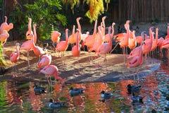 Flamingi w popołudniowym słońcu na stawie Fotografia Royalty Free