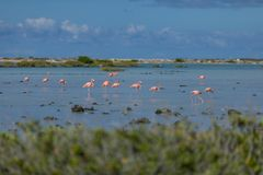Flamingi w solankowych mieszkaniach w Bonaire fotografia stock