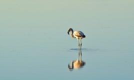 Flamingi w stawie z odbiciem w wodzie obrazy stock