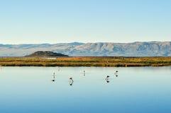 Flamingi w stawie z odbiciem w wodzie zdjęcie stock