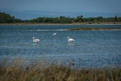 Flamingi w stawowym odprowadzeniu Fotografia Stock