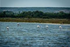 Flamingi w stawowym odprowadzeniu Zdjęcie Stock
