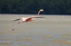 Flamingi w wodzie Obrazy Royalty Free
