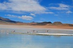 Flamingi w zielonej lagunie Fotografia Stock
