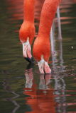 flamingi wielcy zdjęcie royalty free