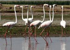 flamingi wielcy Zdjęcia Stock