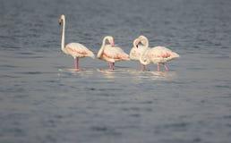 flamingi wielcy Obrazy Stock
