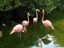Flamingoï ¼› 免版税库存照片