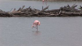 flamingo stock videobeelden