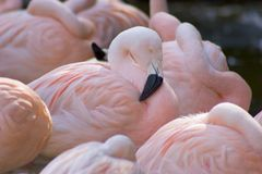 Flamingo. A flamingo peaks its head up from the group royalty free stock photography