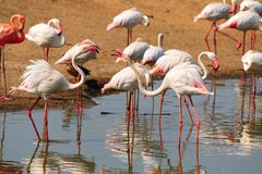 Flamingo. Dancing Pink Flamingos In The Pond Stock Photography