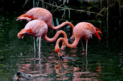 Flamingo. Pink for underwater fishing Stock Photo