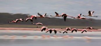 flamingo Royaltyfria Foton