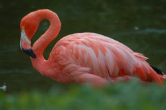 Flamingo. Great colors of flamingo Stock Image
